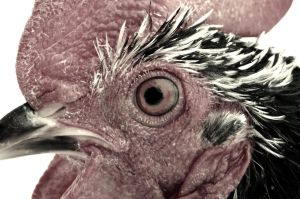 Rooster head by Mr-Goldfish