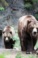 Brown Bears by dbvictoria