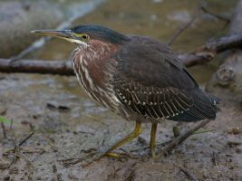 Green Heron by Pharmagician