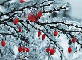 frozen barberries by Volodina-Yulia