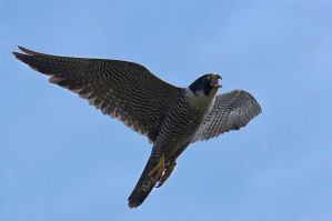 Peregrine falcon by Orzel