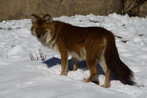 Dhole Female in winter by Eternalfall1