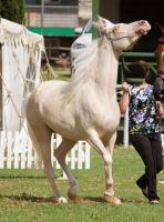 STOCK - TotR Arabians 2013-76 by fillyrox