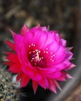 Cactus flower 1168 by fa-stock
