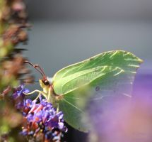 Colias croceus by jochniew