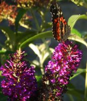 Monarch and Butterfly Bush by AlissaDStock