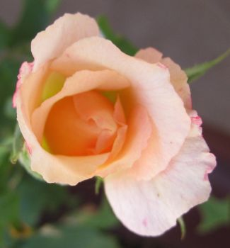 Rose 061414 01 by acurmudgeon