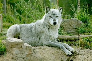 Resting Female Alpha by Kippenwolf