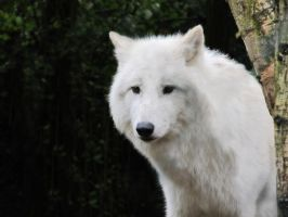 Arctic Wolf 1 by xCrystals