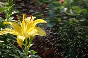 Yellow Lily 1 by Photoshop-Wizard
