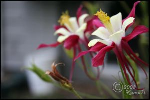 A Pair of Columbine by TRE2Photo-n-Design