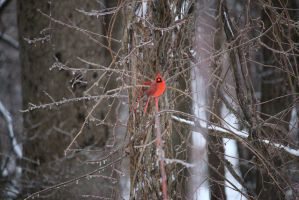 Red Cardinal by MegnRox15
