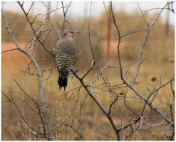 Red Shafted Northern Flicker by SuicideBySafetyPin