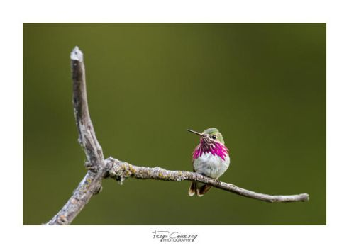 Calliope Hummingbird by FreyaPhotos