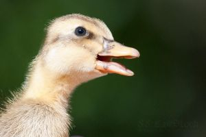 Ducklings 020 by 88-Lawstock