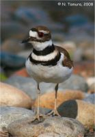 Killdeer II by NTamura