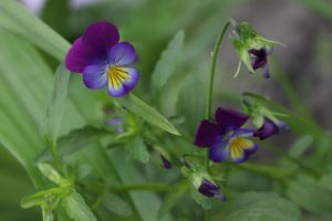 Viola tricolour 2 by FreedomeSoul88