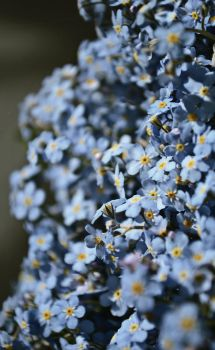 Forget-me-nots by Mayolika-Das