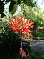 Hibiscus2 by RixResources