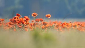 poppy dreams by FeenoGraphie