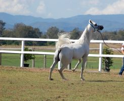 GE Arab white head up 1leg up view behind by Chunga-Stock