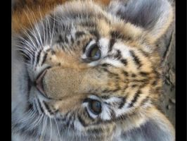 dreamy_tiger_cub by sakura4