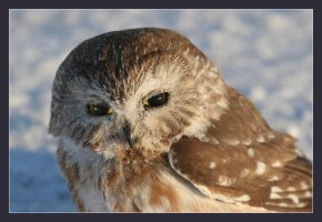 Owl in Snow by pictureguy