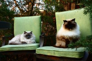 Ragdoll cats in green chairs by rachily