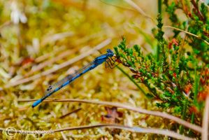 Dragonfly by Moonbird9