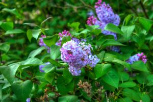 purple flowers - hdr3 by bngophile