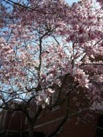 Campus Shots - Full Blossom by Wolf-Pup-TK
