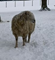 Snowy sheep by gee231205
