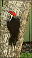 Pileated Woodpecker by TThealer56