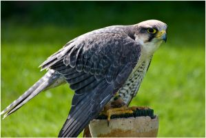Lanner Falcon by Naifud