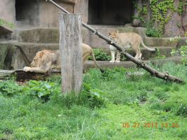 Lions by tabby25