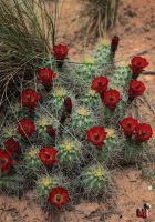 Cactus flowers of the Reef by mjohanson