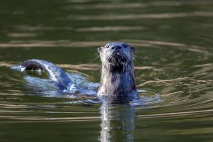 River Otter by DontHideTheMadness