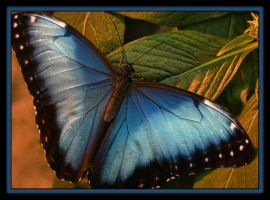 blue morpho delight by ariseandrejoice