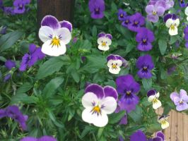 Pansies by demonlucy