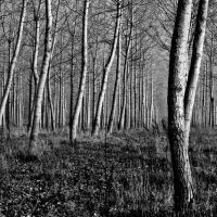 poplar... by iangrahamimages