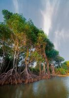 Mangrove_Morning by 1rainmaker