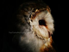 Barn owl by BlackWolf182