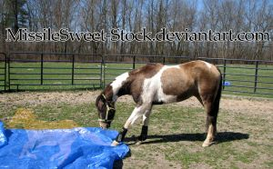 Training - Pinto, meet tarp 2 by MissileSweet-Stock