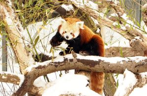 red panda by mishkuu