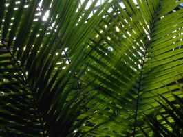 Palm Leaves by cdooginz