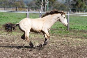HH Iberian gallop side view foal by Chunga-Stock