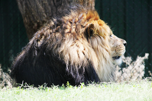 Lion by thepunkexperience