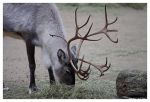 Reindeer 2 by OrcOPhoto