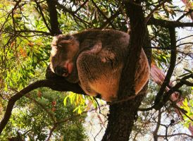 Koala and his Passion by Sirhenry91
