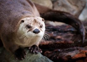 River Otter by DeniseSoden